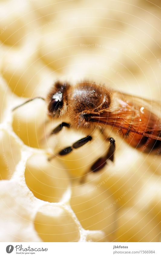 Fleißiges Bienchen Lebensmittel Süßwaren Honig Ernährung Frühstück Umwelt Natur Schönes Wetter Tier Haustier Nutztier Biene Honigbiene 1 elegant klein