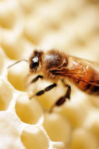 Fleißiges Bienchen Natur Sommer Tier Umwelt natürlich klein Lebensmittel fliegen elegant Ernährung Schönes Wetter Süßwaren Frühstück Biene Haustier Sammlung