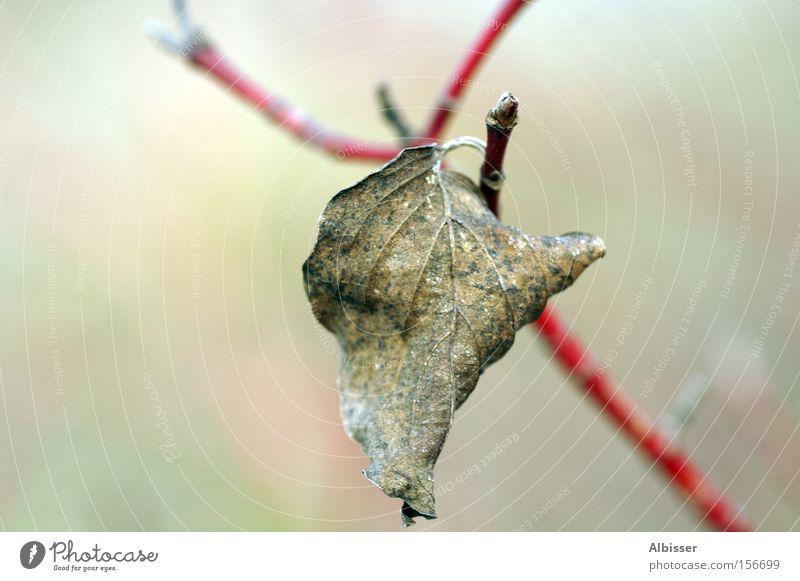 still alive Natur alt weiß Baum rot Winter Blatt Einsamkeit Leben kalt Tod Schweiz Ast beige