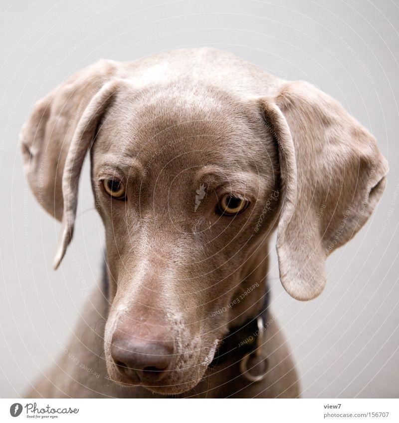 Hypnose hypnotisch Tier Hund Blick Konzentration Weimaraner Auge Schnauze Appetit & Hunger Fressen Speichel Trainingsleibchen Säugetier Vertrauen