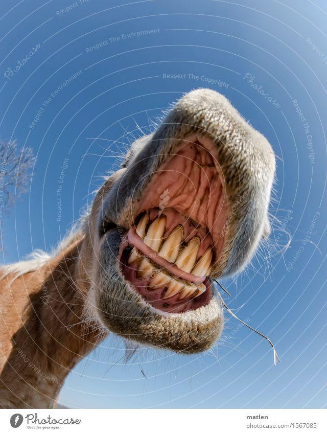 zuviel Gras Tier Haustier Pferd Tiergesicht 1 Lächeln natürlich blau braun rosa weiß Gebiss zahnstein Belag Lippen Zunge abgekaut Farbfoto Außenaufnahme