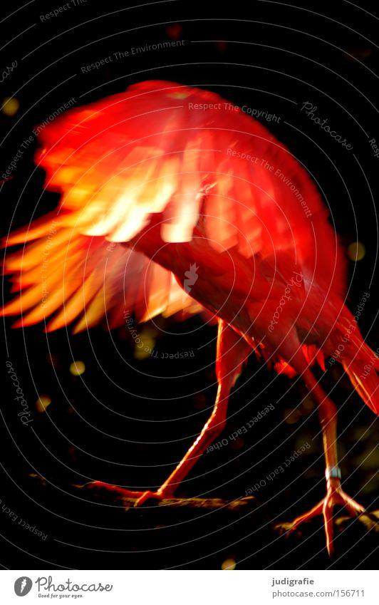 Feuervogel Vogel rot Flügel Feder Natur Aufregung Zauberei u. Magie Tier Licht Farbe feuerrot