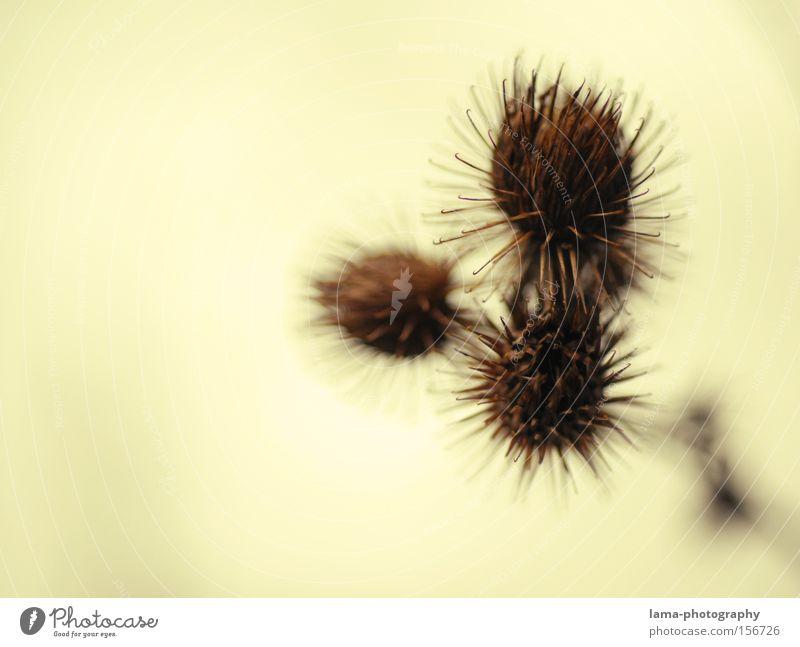 prickly balls Natur Blume Pflanze Herbst braun Sträucher Wüste Wildtier Blütenknospen fein Stachel stachelig Blattknospe