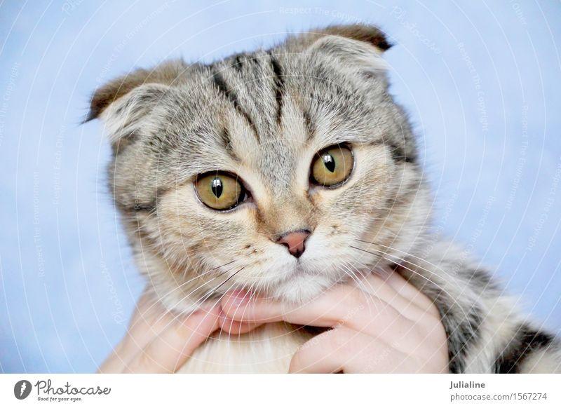 Katze mit gelben Augen Tier Oberlippenbart Haustier Streifen grau Säugetier Backenbart Koteletten Farbfoto