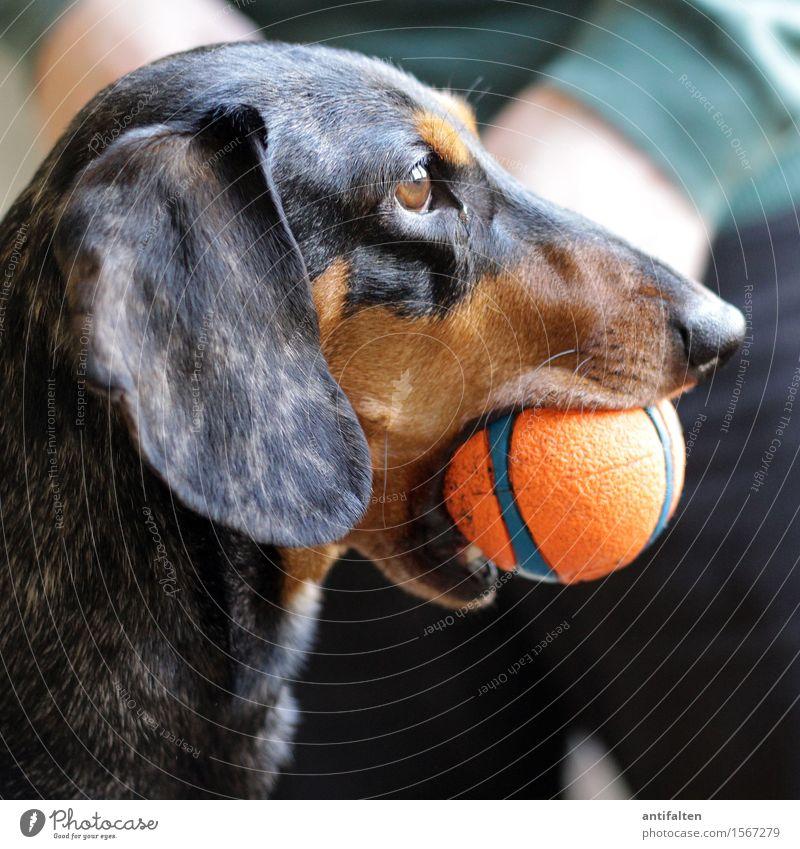 Dackelblick Mensch Hund Mann Tier Freude Erwachsene Auge Beine braun Wohnung maskulin orange Raum Häusliches Leben Körper Arme
