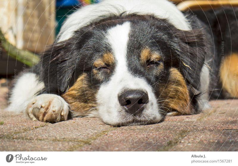 Wach-Hund? Haustier Tiergesicht 1 beobachten genießen liegen schlafen träumen Glück kuschlig Wärme braun schwarz weiß Zufriedenheit Vertrauen Tierliebe