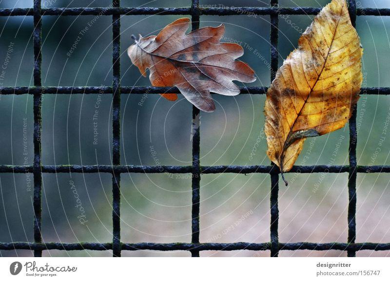Warteschlange Blatt Herbst Freiheit frei geschlossen fangen Zaun hängen gefangen schließen Gitter befreien Befreiung hängenbleiben