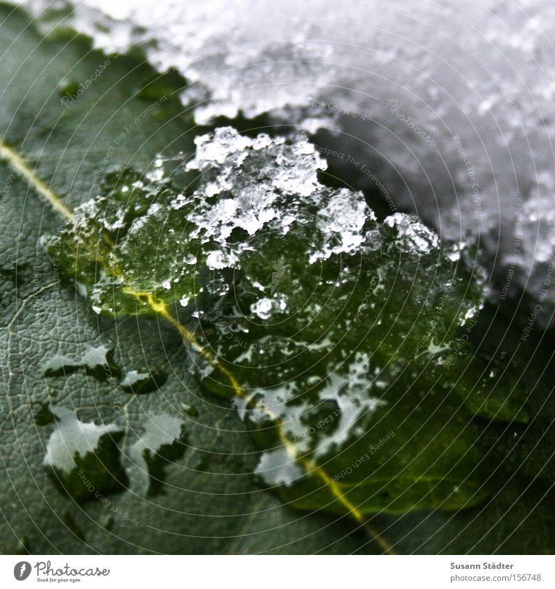 Kontrast grün Blatt Schnee Winter Wasser Wassertropfen Tropfen kalt Faser Schlittschuhlaufen frieren Spaziergang Gegenteil Eis Chloroplasten