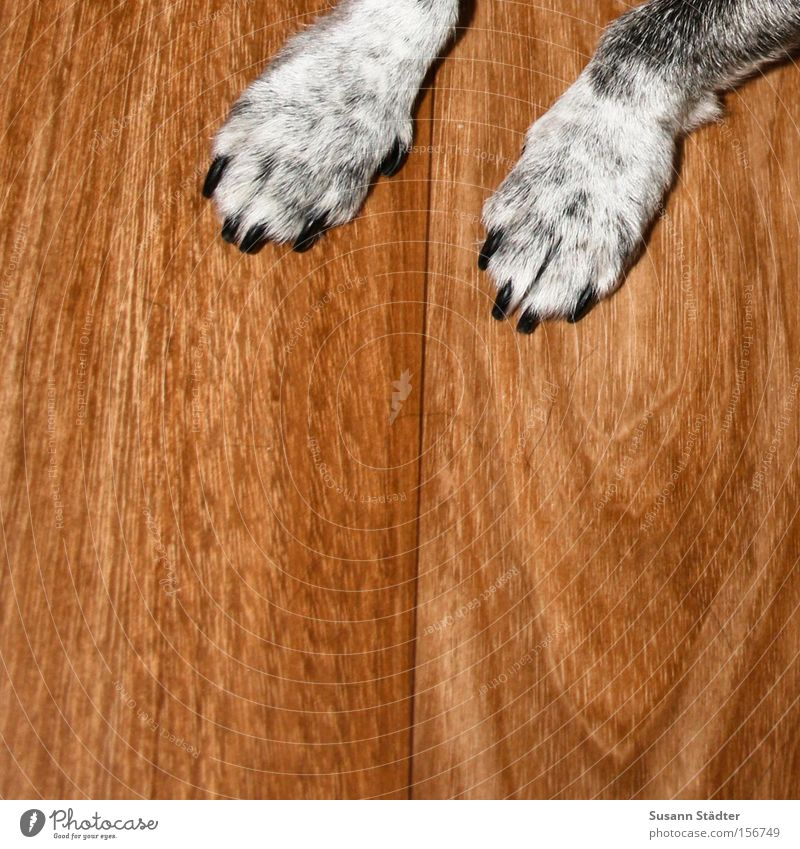 Platz! Hund alt Tier Fell Appetit & Hunger Haustier Sitzgelegenheit Säugetier Pfote Treue Parkett Futter Krallen