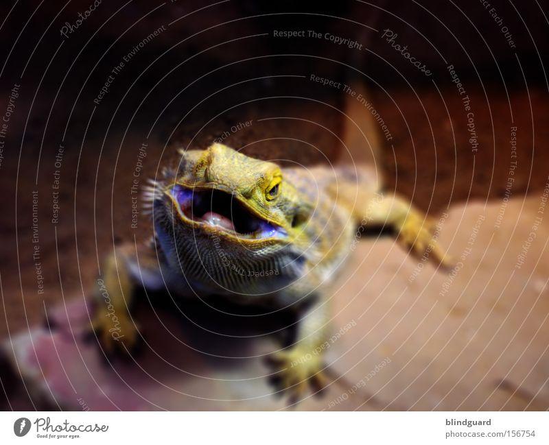 Hello Mac Fly Agamen Echsen Echte Eidechsen Dinosaurier Maul Bart-Agame Schuppen Reptil Tier Australien Stachel Dorn Lebewesen Schwanz Wärme Wüste