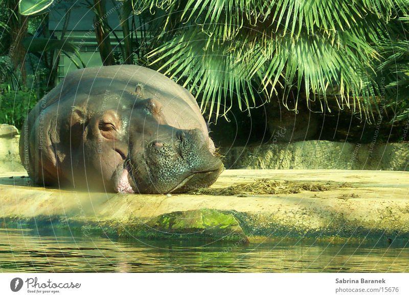 chillin' in the sun Sonne Tier schlafen Zoo Fett Lebensmittel Flußpferd