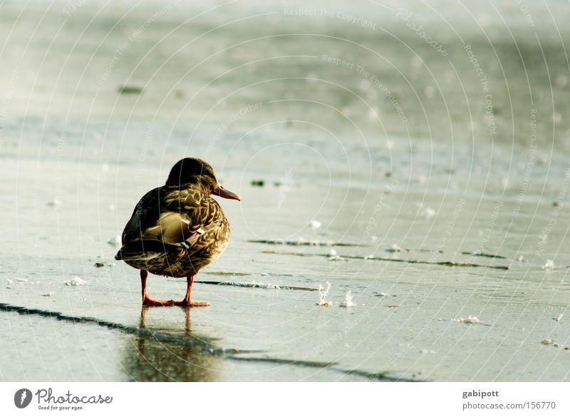 Warten Wasser blau Winter Einsamkeit Tier Traurigkeit See Denken Landschaft Eis braun Vogel warten Frost stehen beobachten