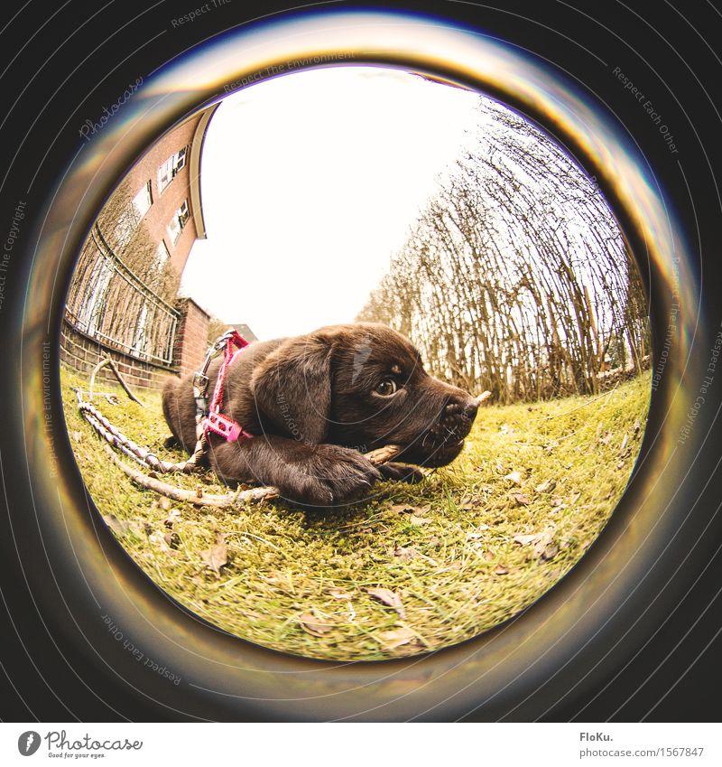 Lotta mit Stock Garten Erde Gras Tier Haustier Hund 1 Tierjunges braun grün Welpe Labrador apportieren Kauen Zahnpflege Appetit & Hunger spielend Spielen