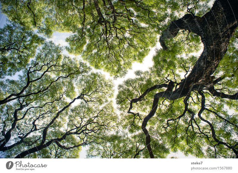 Riss im Blätterdach Himmel Baum Park gigantisch grün ästhetisch Mittelpunkt Schutz Symmetrie Wachstum Lücke Baumstamm filigran Außenaufnahme Menschenleer