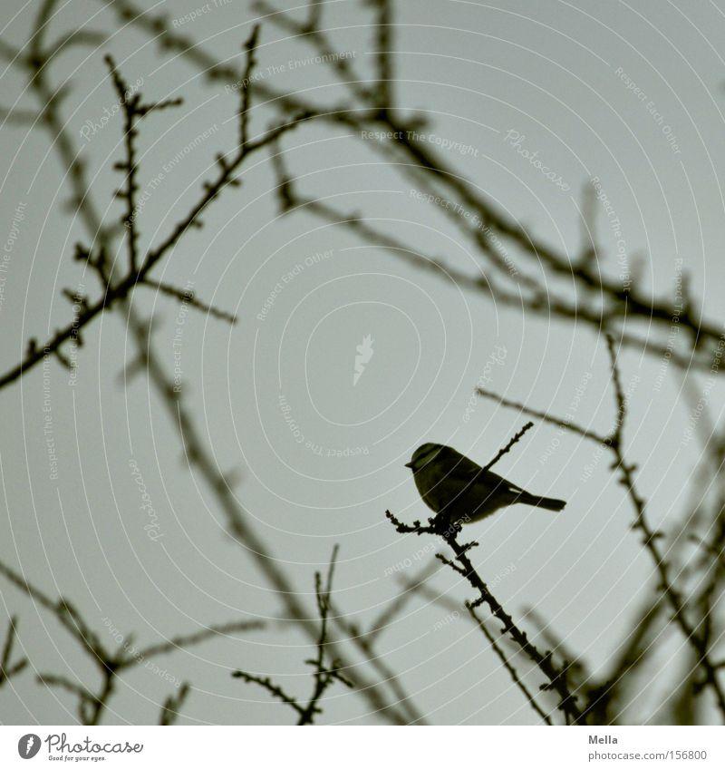 Ein Vogel - was sonst Baum grau klein sitzen trist Sträucher Ast niedlich Zweig trüb hocken Meisen