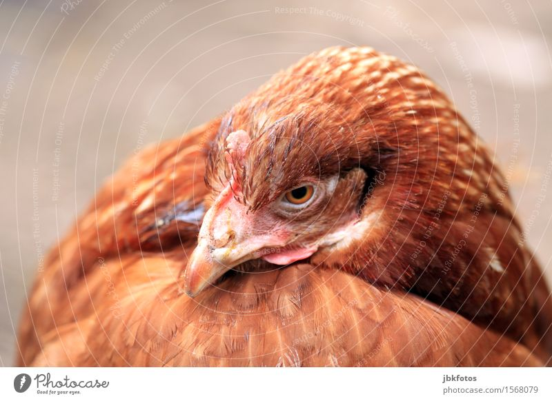 chicken-chill Tier Haustier Nutztier Tiergesicht Flügel Haushuhn 1 schön einzigartig braun Schnabel Feder Außenaufnahme Nahaufnahme Detailaufnahme Menschenleer