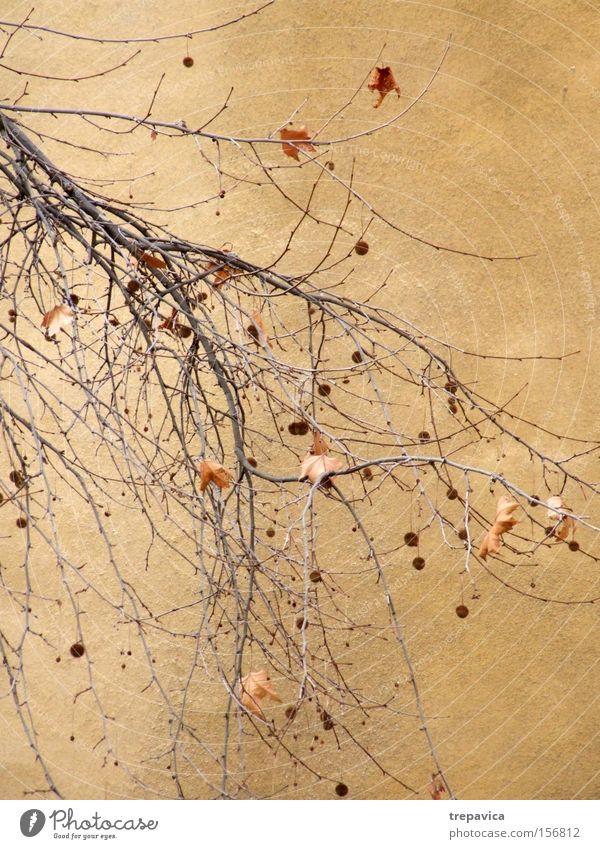 mauer Pflanze Winter gelb Herbst Wand Mauer braun Hintergrundbild Dekoration & Verzierung Ast zart Kugel Zweig getrocknet verzweigt laublos