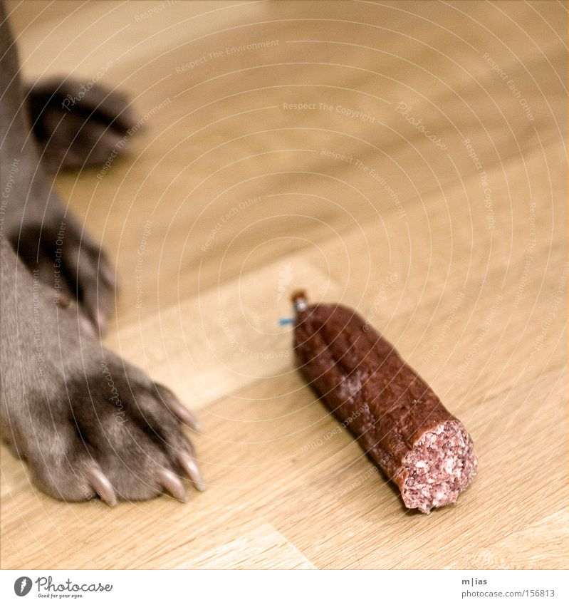 Nachspeise. Hund Tier Holz Ernährung Bodenbelag Appetit & Hunger Fleisch Pfote Säugetier Wurstwaren Parkett Krallen verführerisch Metzger Weimaraner Salami