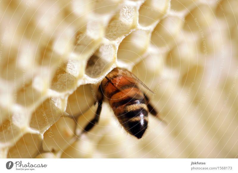 mit dem Kopf durch die Wand Umwelt Natur Tier Haustier Nutztier Biene Flügel 1 außergewöhnlich schön sportlich stachelig Honig Honigbiene Bienenwaben Sechseck