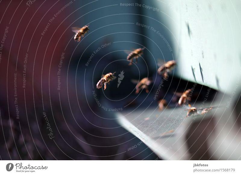 Landeanflug Umwelt Natur Schönes Wetter Tier Haustier Nutztier Biene Schwarm einzigartig Honig Honigbiene fliegen Flugzeuglandung Landen Landebahn Bienenstock