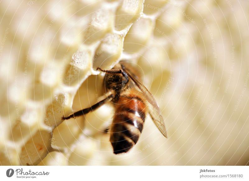 Hallo, gibts hier noch etwas zu futtern? Lebensmittel Honig Ernährung Umwelt Natur Tier Haustier Nutztier Biene Flügel Honigbiene 1 einzigartig Makroaufnahme