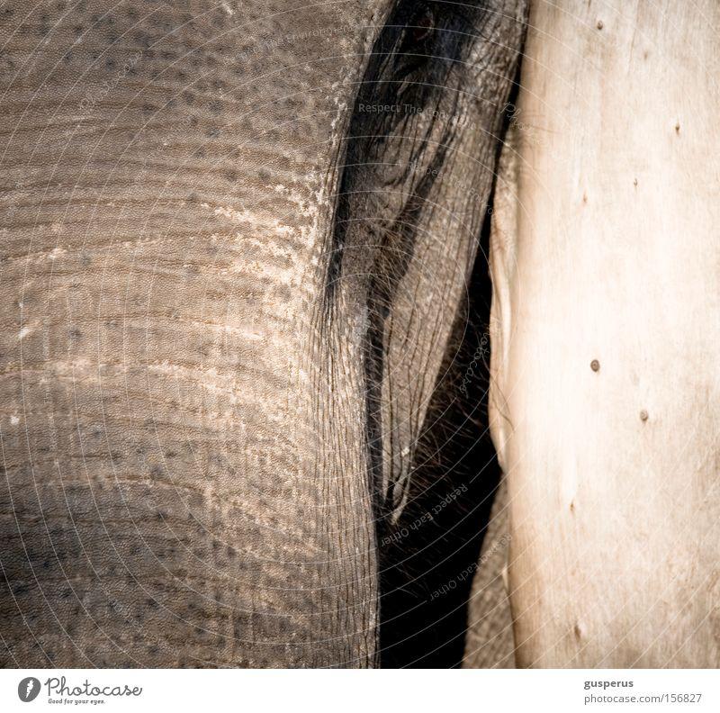 {augenschein} Auge Haut Bildung nah Neugier Falte Vertrauen Säugetier Elefant zutraulich