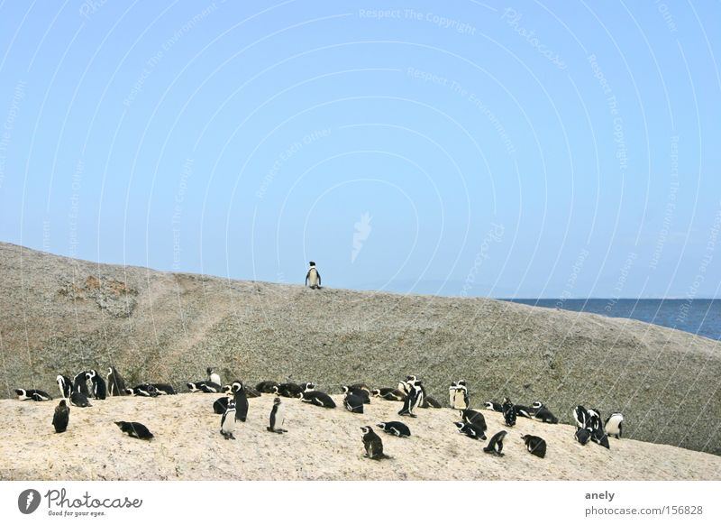 the audience is listening Natur Wasser Meer Strand Tier klein Felsen Afrika niedlich Rede Säugetier Blauer Himmel Pinguin Südafrika