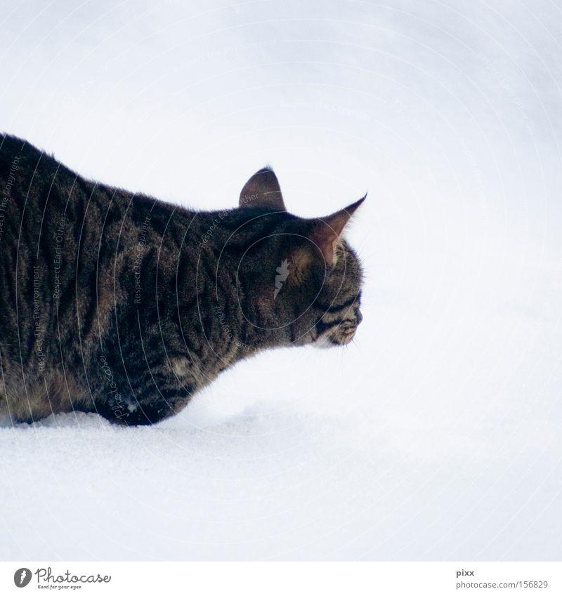 """Lunes """"glücklich"""" im Schnee Katze Winter beobachten Tier Haustier Jagd kalt Vertrauen Kleintier getigert"""