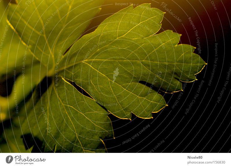 herbal freshness II Petersilie Blatt Blattgrün Kräuter & Gewürze Küche zart Makroaufnahme Nahaufnahme Küchenkräuter Blattpetersilie