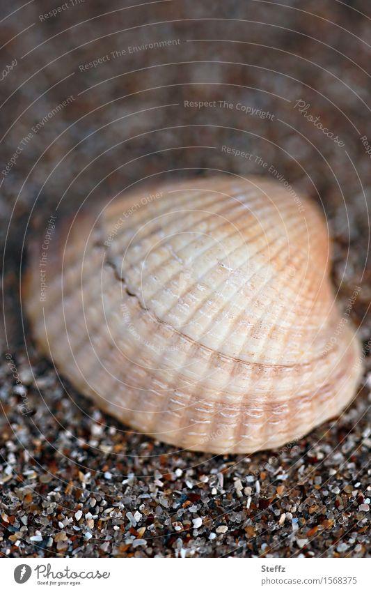 Muschel & Co. VII Sommerurlaub Strand Natur Sandstrand Muschelschale Herzmuschel Salzwassermuschel maritim natürlich schön braun achtsam Urlaubsstimmung