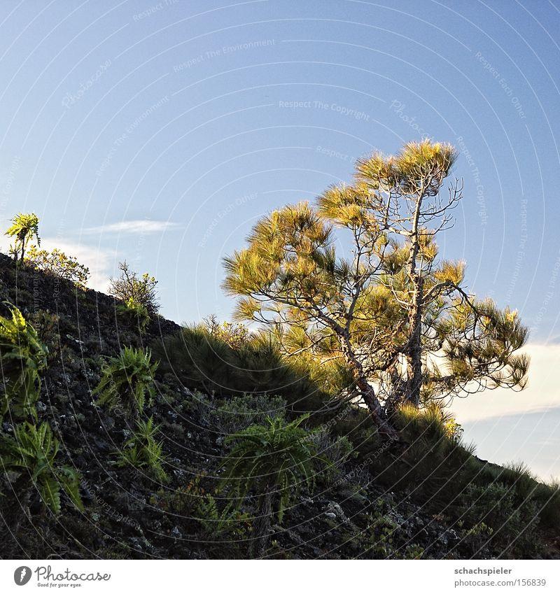 bergauf Natur Baum Pflanze Leben Berge u. Gebirge Wachstum Berghang Vulkan Kiefer Nadelbaum