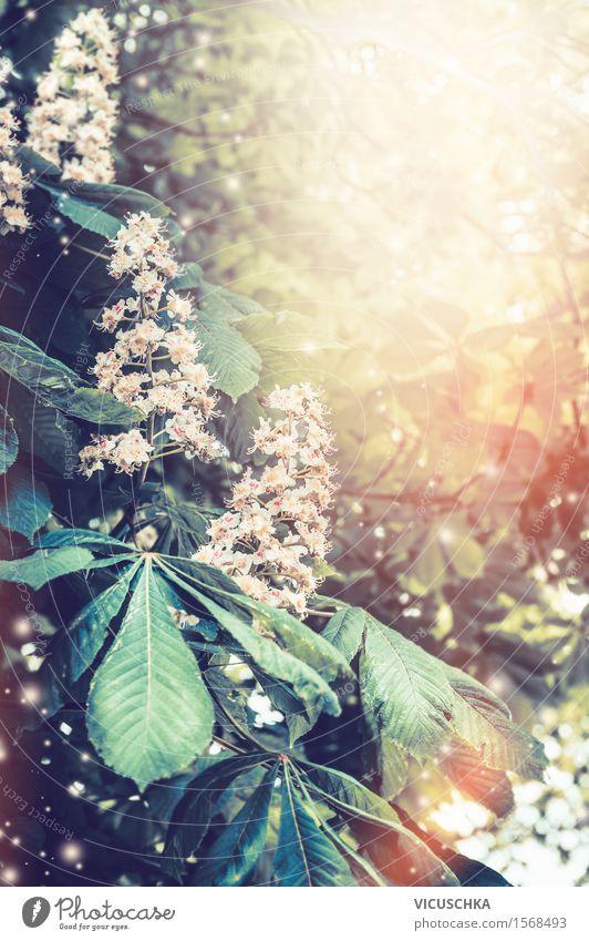 Blühende Kastanienbäumen im Garten oder Park Natur Pflanze Sommer Baum Sonne Blume Blatt Blüte Frühling Hintergrundbild Stil Lifestyle Design