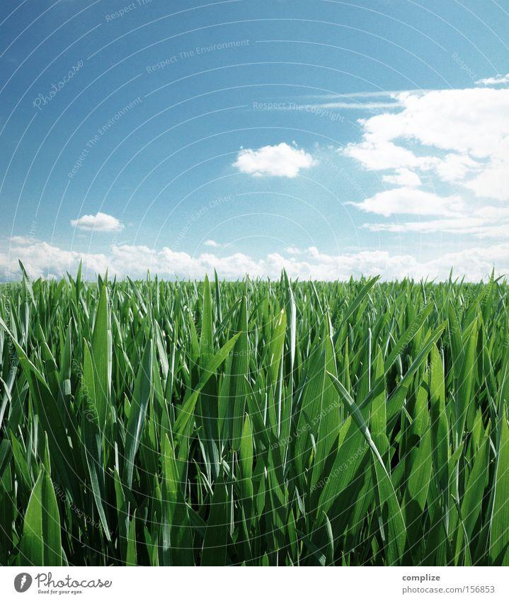 Landwirtschaft Nahaufnahme Makroaufnahme Sonnenstrahlen Getreide Bioprodukte Ferne Sommer Natur Pflanze Himmel Wolken Horizont Frühling Wetter Schönes Wetter
