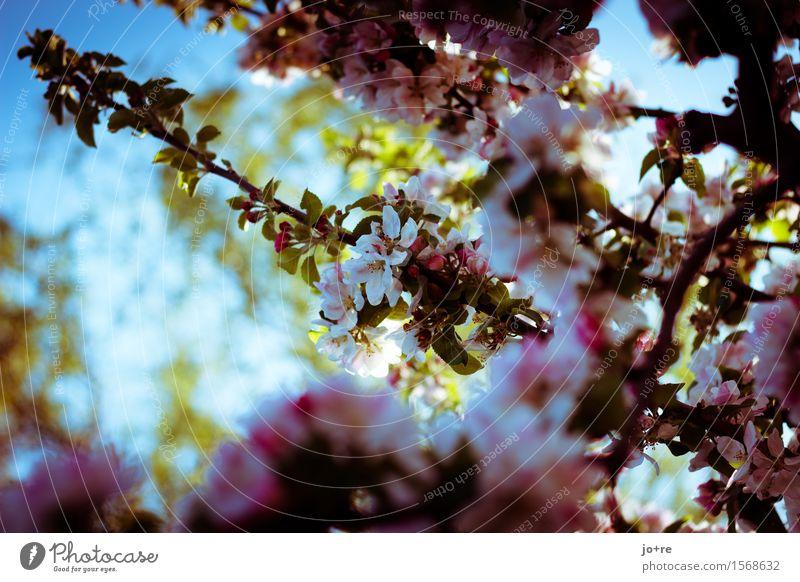 Apfelblüte Natur Pflanze Himmel Sonnenlicht Frühling Schönes Wetter Baum Blüte Obstbaum Apfelbaum Blühend blau grün rosa Frühlingsgefühle Farbfoto Außenaufnahme