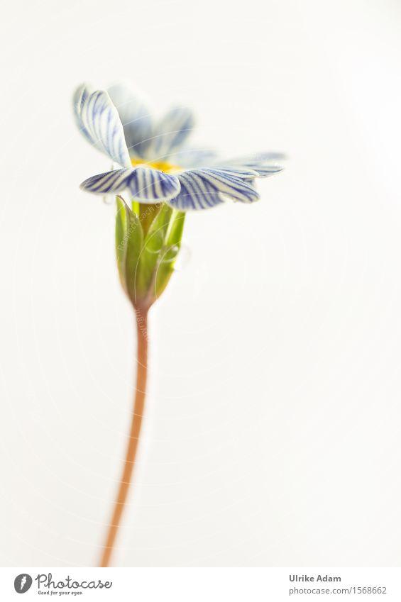 Blau - Weiß gestreifte Primel - hochkant elegant Garten Dekoration & Verzierung Feste & Feiern Muttertag Ostern Natur Pflanze Blume Blüte Topfpflanze