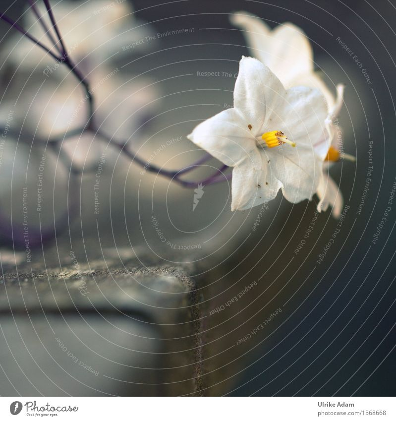 Nachtschatten Jasmin Natur Pflanze schön Sommer weiß Blume ruhig Wärme Blüte natürlich grau Garten Park glänzend wild elegant