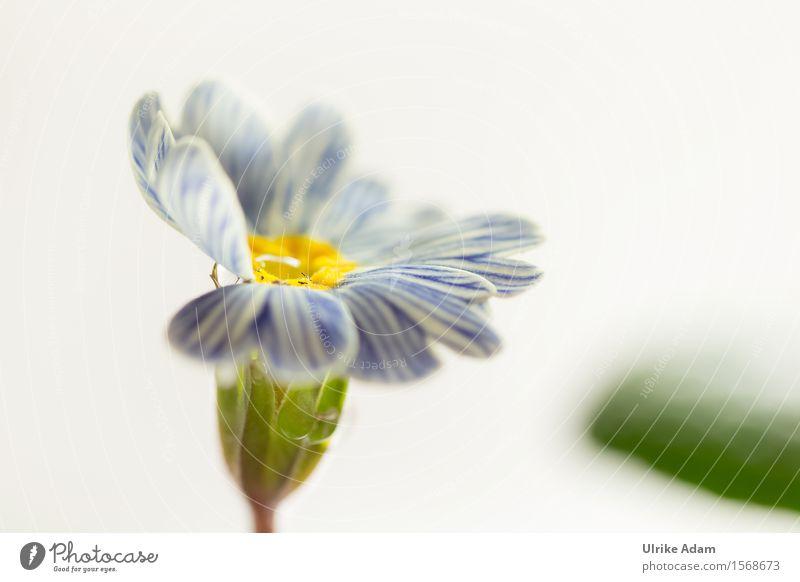 Blau - Weiß gestreifte Primel Natur Pflanze blau grün schön weiß Blume Blatt Wärme Innenarchitektur Blüte Frühling Garten Feste & Feiern Park glänzend