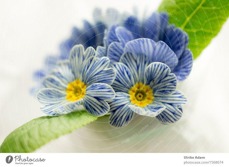 Blau - Weiß gestreifte Frühlingsprimel 'Zebra' / Primula Natur Pflanze blau grün schön weiß Blume Erholung Blatt ruhig Innenarchitektur Blüte Garten Park