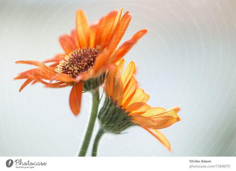 Orange Gerbera Natur Pflanze grün schön Sommer Blume Blüte natürlich Garten hell orange frisch elegant Dekoration & Verzierung leuchten Tanzen