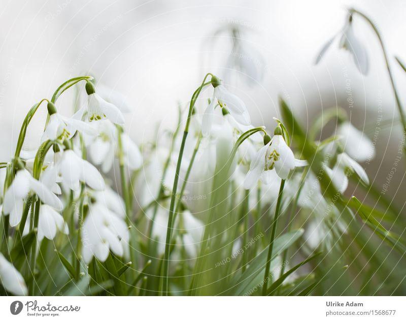 Schneeglöckchen Natur Pflanze grün schön weiß Blume Blatt ruhig Winter Blüte Frühling natürlich Garten Park wild Blühend
