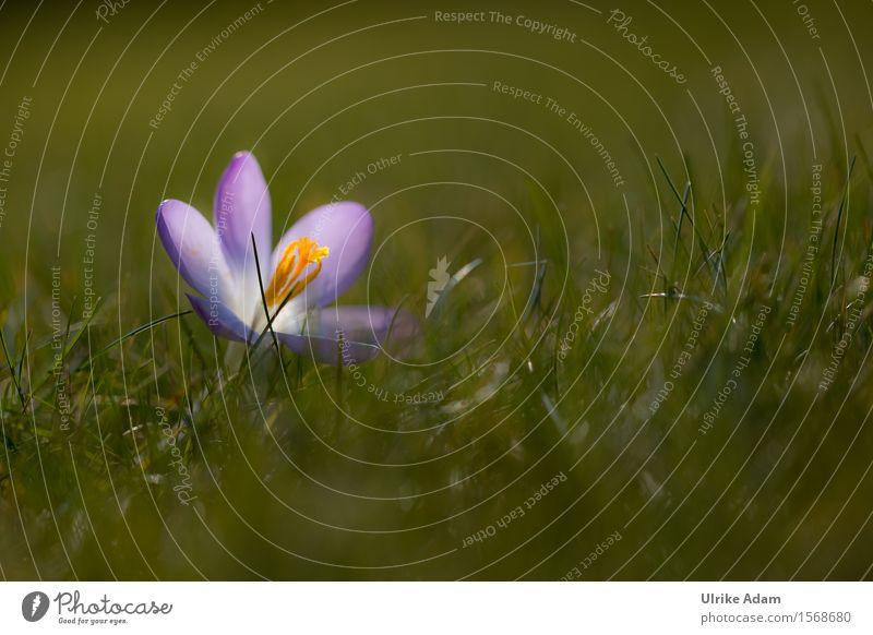 Krokuß im Gras Natur Pflanze blau grün schön Blume Wärme Gefühle Blüte Frühling Wiese Garten Park wild Erde