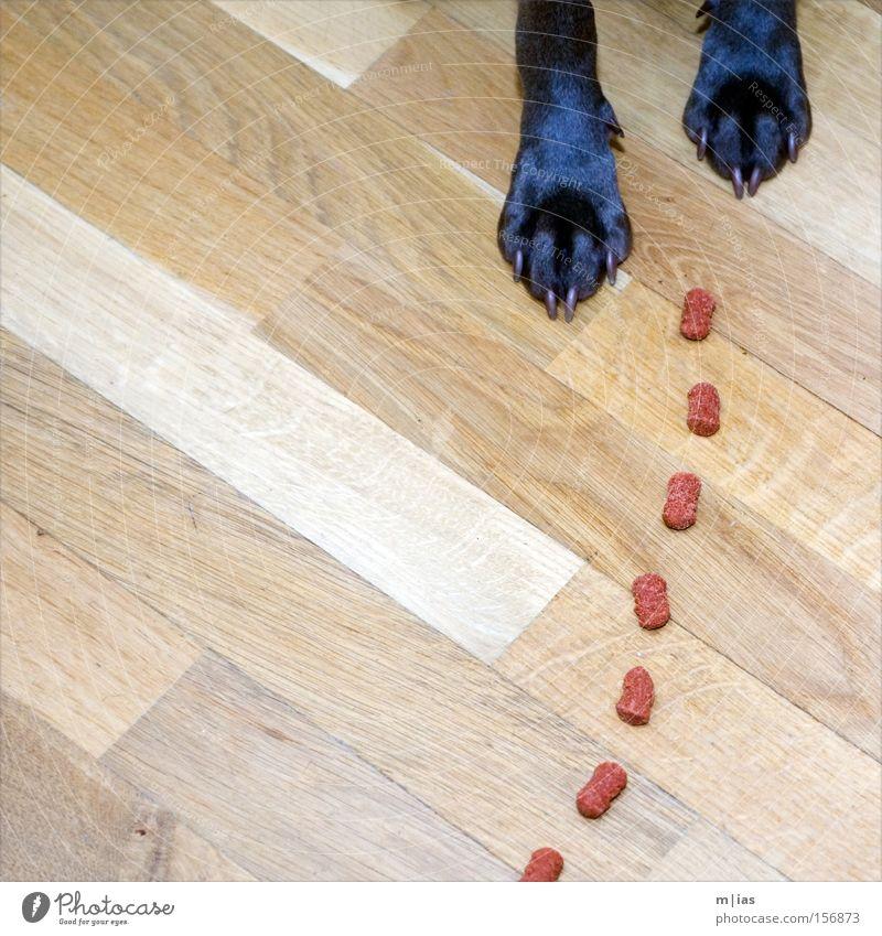 Fährtenhund. Hund Weimaraner Pfote Krallen Futter Ernährung Appetit & Hunger Mahlzeit Bodenbelag rot Holz lecker Tier Säugetier Tia