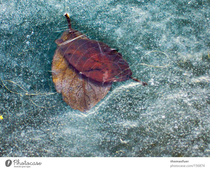 gefangen Blatt Winter kalt See Eis Frost Vergänglichkeit gefroren Winterpflanze konserviert Konservendose Wintermorgen Winterpause Winterblume Tiefkühlkost