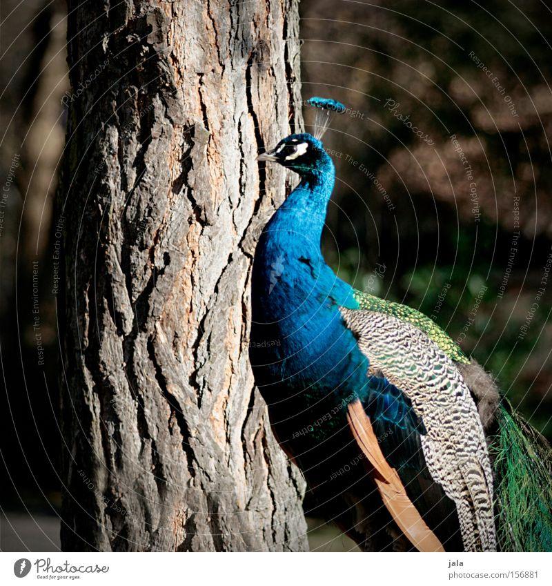 Schönheit in Blau Pfau blau Vogel Feder Kopf Auge Tier schön ästhetisch Stolz Blick Schnabel Baum
