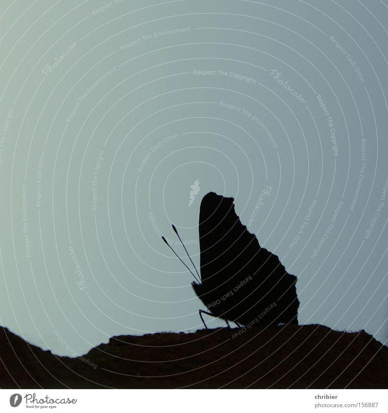 Kleiner Kerl Schmetterling Silhouette Gegenlicht Insekt Flügel Fühler Schatten Sommer blau schwarz filigran fein Makroaufnahme Nahaufnahme schön chribier