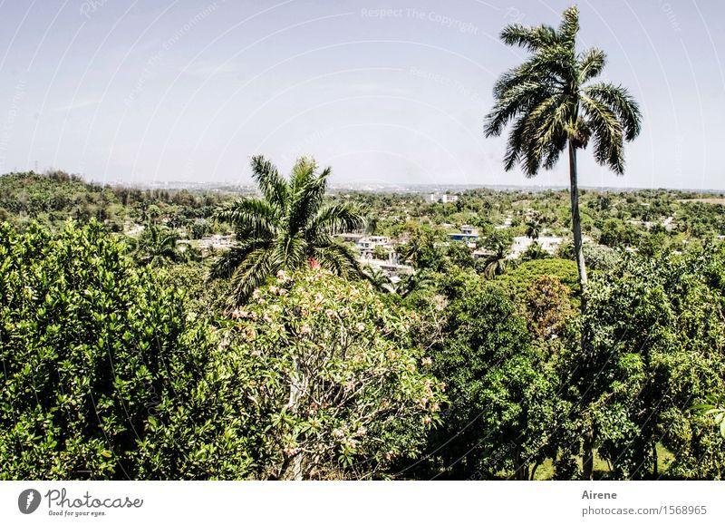 herausragend Landschaft Himmel Klima Schönes Wetter Pflanze Baum exotisch Palme Wald Urwald Havanna Kuba heiß hell maritim positiv trocken blau grün Niveau