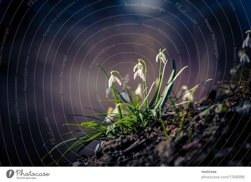 Frühlingsknotenblümschchen Natur Pflanze grün schön weiß Blume Erholung Blatt Blüte Stil braun Feld Erde elegant leuchten