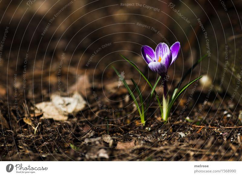 geschafft! elegant Stil Natur Erde Frühling Schönes Wetter Pflanze Blume Blatt Blüte Wildpflanze Krokusse Knollengewächse Blütenpflanze Frühblüher