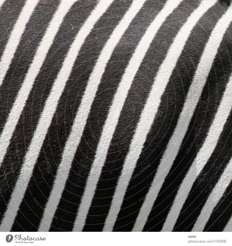 Schwarz-Weiß weiß Tier schwarz Linie Wildtier Streifen Fell Säugetier gestreift Tarnung Zebra Zebrastreifen Schwarzweißfoto
