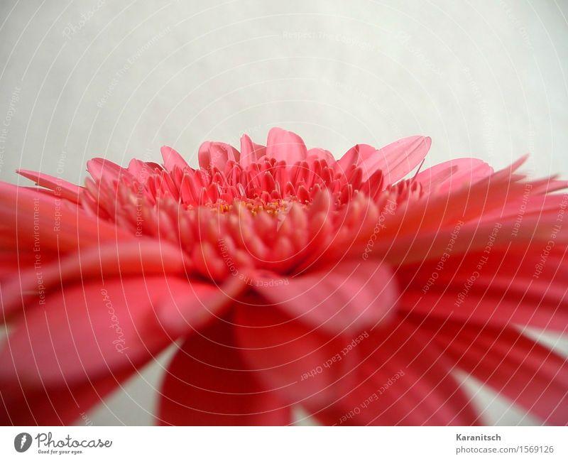 Gerbera Pflanze Blume Blüte ästhetisch frisch positiv rosa rot Gefühle Lebensfreude Sympathie Romantik schön Duft elegant Farbe Freundschaft Perspektive